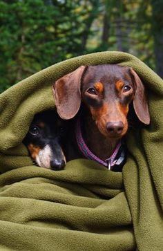 ❤️ Typical doxie's