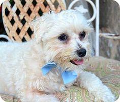 Irvine, CA - Maltese/Poodle (Miniature) Mix. Meet Simon, a dog for adoption. http://www.adoptapet.com/pet/13586797-irvine-california-maltese-mix