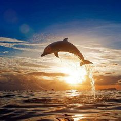 Dolphin. Sunset. Ocean.