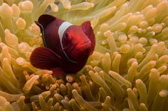 """Clownfish got famous through the movie """"Finding Nemo"""" and every scuba diver loves them. Learn more about these cute, but weird creatures - clownfish facts Saltwater Aquarium, Weird Creatures, More Fun, Fish, Search, Google, Cute, Animals, Clownfish"""