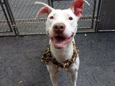 TO BE DESTROYED 5/31/14 Manhattan Center ***NEW PHOTO***  My name is KENNEDY. My Animal ID # is A1001058. I am a female white and tan pit bull mix. The shelter thinks I am about 2 YEARS   I came in the shelter as a STRAY on 05/25/2014 from NY 11370, owner surrender reason stated was STRAY. https://www.facebook.com/photo.php?fbid=812173102128904&set=a.611290788883804.1073741851.152876678058553&type=3&theater