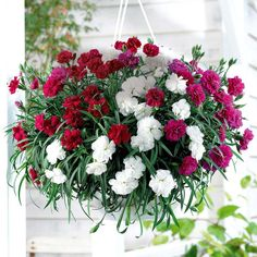 Romantic, fully double blooms in three dramatic shades of lilac, white and dark red, exude a delicate, sweet fragrance. This exquisite mix of trailing dianthus flowers non-stop throughout summer and its lax habit makes it ideal for all types of hanging containers or draping around the edge of pots. Blended together they make an unforgettable display that goes on impressing year after year.