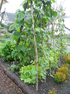 Bean poles with lettuce. The Eden Project.