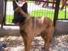 Berni, Belgischer Schäferhund Mischling, ca. 4 Jahre - home4dogs