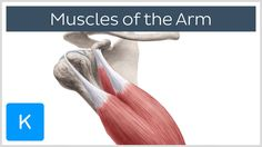 Arm muscles - Origin, Insertion & Innervation -  Human Anatomy | Kenhub