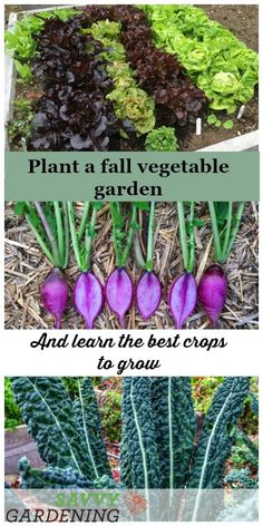 Fall Vegetable Gardening Extend your homegrown harvest with a fall vegetable garden. - Learn how to plant a fall vegetable garden for a steady supply of tender salad greens, crisp root veggies, and crops like scallions, broccoli, and kohlrabi. Winter Vegetables, Planting Vegetables, Planting Seeds, Growing Vegetables, Root Veggies, Fall Planting, Growing Tomatoes, Gardening For Beginners, Gardening Tips