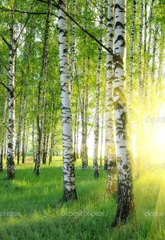 birch trees photos | Birch trees | Stock Photo © Leonid Anfimov #1426602