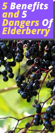 natural cures 5 Benefits and 5 Dangers Of Elderberry benefits natural remedies benefits healthy benefits immune system Diabetes Remedies, Health Remedies, Asthma Remedies, Daily Health Tips, Health And Wellness, Health Advice, Wellness Tips, Elderberry Supplement, Elderberry Benefits