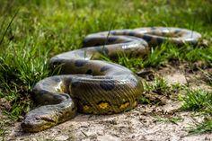 Uno de los animales más llamativos y característicos de Los Llanos: la anaconda