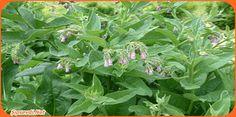 Eşek Otu Nedir? Özellikleri Nelerdir? Nerelerde Yetişir?  Eşek otu çorak arazileri ve kurak bölgeleri sever. Bitkinin boyu ortalama olarak 30 ile 150 santimdir. İki yıllık otsu bitki olma özelliği taşır. En fazla yetiştiği bölge olarak Kuzey Amerika söylenebilir.   Bitkinin ömrü 2 yıl kadardır. Yaprak uzunluğu 5 ile 20 santim arasında değişkenlik gösterirken yapraklarının şekli bir mızrağı andırır.  #Eşek #Otu Faydaları Nelerdir? Nelere İyi Gelir? Terletici bir özellik gösterir.