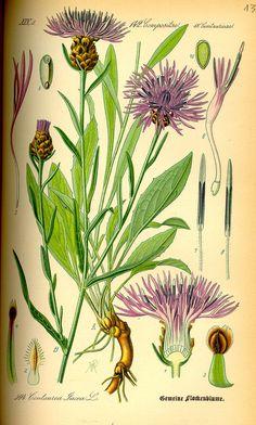 Illustration Centaurea jacea0.jpg