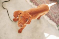 Nalu , the vizsla puppy . Velcro dogs steal your heart