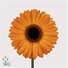 Gerbera golden serena is a pretty Orange cut flower. It is approx. 45cm and wholesaled in Batches of 50 stems.