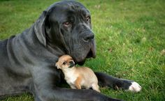 big-dog-small-dog-PAY-Nero-the-Mastiff-and-Digby-the-Chihuahua