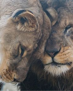 🦁If you Love Lions, You Must Check The Link In Our Bio 🔥 Exclusive Lion Related Products on Sale for a Limited Time Only! Tag a Lion Lover! 📷 Please DM . No copyright infringement intended. All credit to the creators. Lion Pictures, Great Pictures, Beautiful Lion, Animals Beautiful, Lion Tigre, Lion Couple, Baby Animals, Cute Animals, Funny Animals