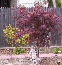 This is a dwarf Japanese Maple Acer Palmatum Fireglow. This is a dwarf Japanese Maple Dwarf Japanese Maple, Acer Palmatum, Garden Shrubs, Autumn Trees, Dream Garden, Flora, Landscape, Green, Plants