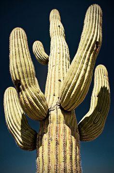 Saguaro Cactus (Cereus giganteus).