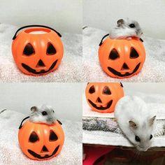 ★hamster Halloween ♥