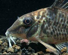 Corydoras blochi Tropical Aquarium, Tropical Fish, Cory Catfish, Aquarium Catfish, Plecostomus, Freshwater Aquarium, Snails, Fish Tank, Wonders Of The World