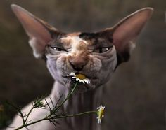 .... This picture is probably my favorite picture of a cat that is not mine. SO Beautiful!! #SphynxCat