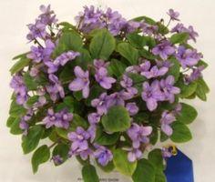 Robs Lilli Pilli.  Semiminiature trailing African violet.