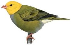 Ou (Psittirostra psittacea)