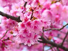 Cherry Blossom,