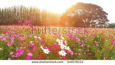 cosmos field in the park with big raintree among the blossom flower
