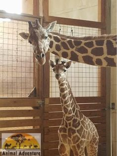 April the Giraffe - with a slightly suspicious look on her face.  I guess we know where Tajiri gets it!