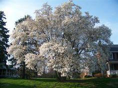 huge Magnolia stellata specimen!
