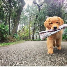Golden Retrievers can't help themselves. They MUST retrieve at all times