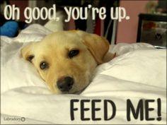 Labradors.com Feed Me! #labrador #funny
