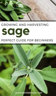 Learn to plant and grow sage with this easy to follow guide to growing. Sage is an easy to grow herb that does well in warm and dry climates. Sage is perfect for using in the kitchen, as a companion plant in the garden and for holistic reasons and well. #gardeningtips #herbgarden #gardenideas #beginnergardening