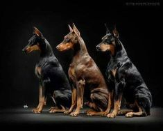 The Doberman Pinscher is among the most popular breed of dogs in the world. Known for its intelligence and loyalty, the Pinscher is both a police- favorite Big Dogs, I Love Dogs, Cute Dogs, Dogs And Puppies, Corgi Puppies, Doggies, Beautiful Dogs, Animals Beautiful, Cute Animals