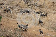 Pack of African wild dogs at an Impala kill in Gonarezhou - Zimbabwe