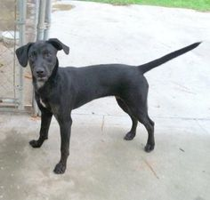 Sloan Labrador Retriever Mix & Border Collie • Young • Female • Medium Columbus Humane Society Inc. Whiteville, NC