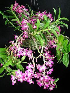 Rare Orchids, Dendrobium Orchids, Pink Orchids, Orchids Garden, Orchid Plants, Exotic Plants, Unusual Flowers, Amazing Flowers, Beautiful Flowers