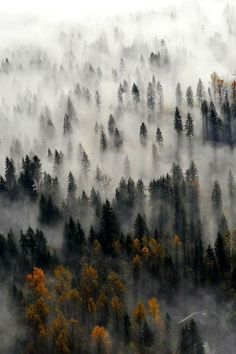 fog through the forest