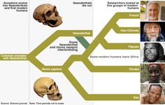 Human and Neanderthal interbreeding. Note the San branch at the bottom.So are the Yoruba (Bantu) and Paupan which is indicative of foundation.The top Neanderthal and Denisovan mated with bottom 3 creating modern Asiatics and Europeans.