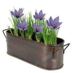 Saffron Kit has 5 bulbs, soil and a solid copper windowsill planter. Comes in a beautiful gift box with complete instructions. Can be grown indoors or out. Edible Flowers, Fall Blooming Flowers, Beautiful Blooms, Bloom, Growing Saffron, Bulb, Saffron Crocus, Crocus, Fall Bulbs