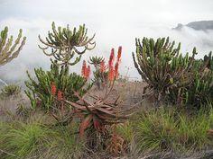Misty succulent landscape | Landscape with Aloe cameronii, E… | Flickr