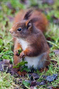 Red squirrel  This will make a great salad!!!
