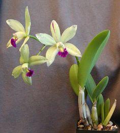 Laelia briegeri x Cattleya aclandiae coerulea