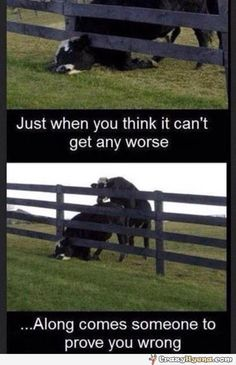 A funny pictiure from a far where a cow has stuck its head in the fence. This looks bad, but when the bull comes everything becomes worse.