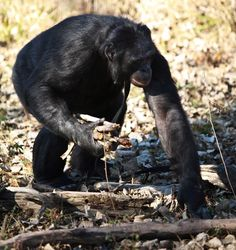 Amazing photos of Kanzi the bonobo lighting a fire and cooking a meal