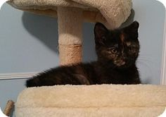 Philadelphia, PA - Domestic Shorthair. Meet Mia (foster care), a kitten for…
