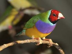 Photo of a Gouldian Finch