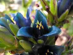 Puya alpestris, native to the Chilean Andes