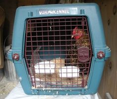 My Chicken Looks Sick - Now What? A practical guide to tending to your sick chicken.