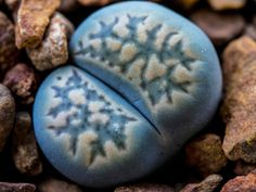 Lithops #macrophotography #succulents #mesembs